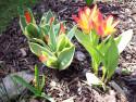 Tapeta Tulipány nízké