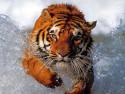 Tapeta Tygr