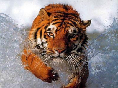 Tapeta: Tygr