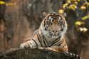 Tapeta tygr 1