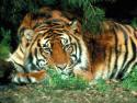 Tapeta Tygr 2 -(Neo)-