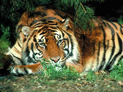 Tapeta: Tygr 2 -(Neo)-