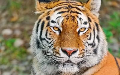 Tapeta: Tygr 3 -(Neo)-