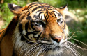Tapeta Tygr 4 -(Neo)-