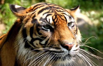 Tapeta: Tygr 4 -(Neo)-
