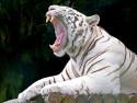 Tapeta Tygr 5 -(Neo)-