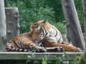 Tapeta Tygr I.