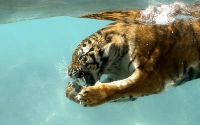 Tapeta: Tygr pod vodou