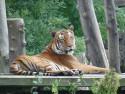 Tapeta tygr v ZOO