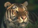 Tapeta tygřice