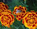 Tapeta Včela