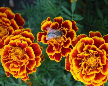 Tapeta: Včela
