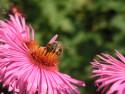 Tapeta Včela 2