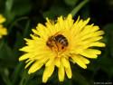 Tapeta Včela na pampelišce