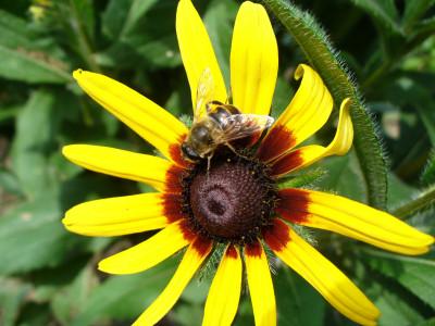 Tapeta: VČELIČKA NA PASTVĚ