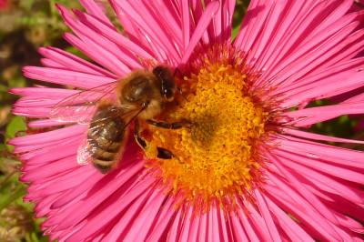 Tapeta: Včelka