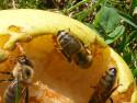 Tapeta včelky na hrušce