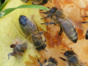 Tapeta včely na hrušce