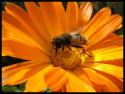 Tapeta včelka