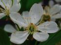 Tapeta višňový květ
