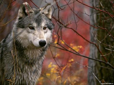 Tapeta: Vlci 2