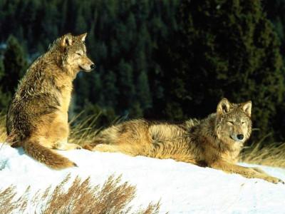 Tapeta: Vlci 3