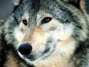 Tapeta Vlci 5