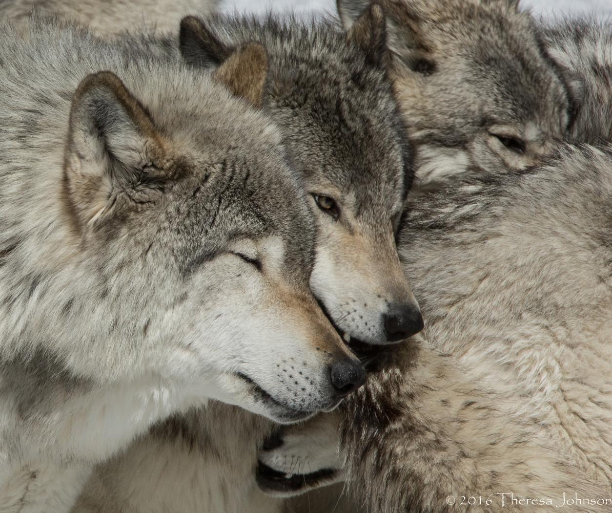Tapeta vlci_