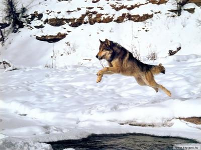 Tapeta: Vlk Sedy 4