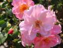 Tapeta Voňavá růže