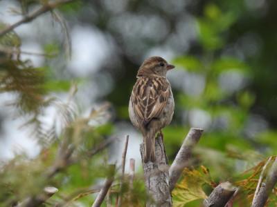 Tapeta: Vrabec na stráži