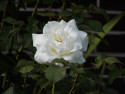 Tapeta White Rose