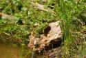 Tapeta Žába na břehu