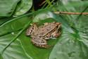 Tapeta žába na lopuchu