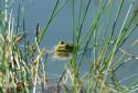 Tapeta Žába v rybníčku