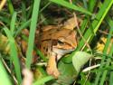 Tapeta žabák