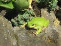 Tapeta Žabička zelená