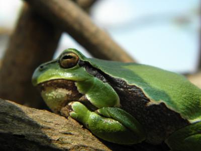 Tapeta: Žabka