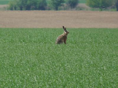 Tapeta: Zajíc