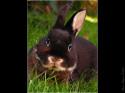Tapeta zakrslý králík