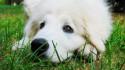 Tapeta Zasněný pes