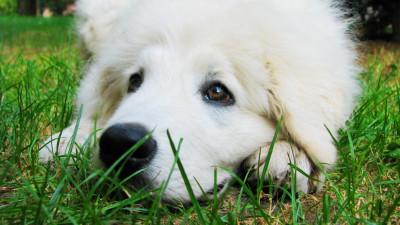 Tapeta: Zasněný pes