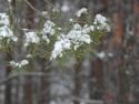 Tapeta Zasněžená borovice