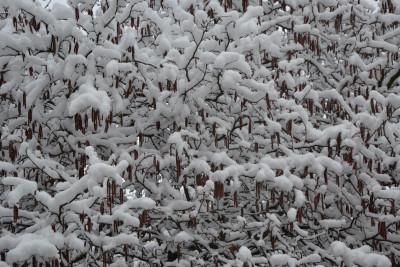 Tapeta: Zasněžená líska