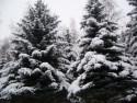 Tapeta Zasněžené stromy