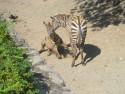 Tapeta Zebra DK