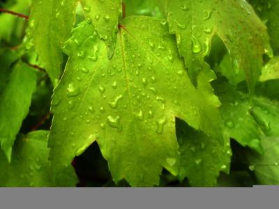 Tapeta: Zelené listy