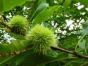 Tapeta Zelený ježek