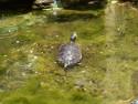 Tapeta želva GC2