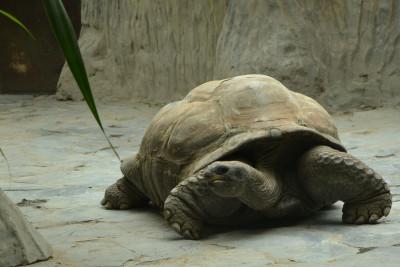 Tapeta: Želva sloní